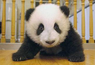 Baby_panda_bear