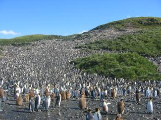 Colony_of_aptenodytes_patagonicus
