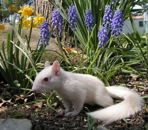 Olney_white_albino_squirrel