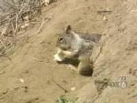 Squirrelplaguepalomarmountain